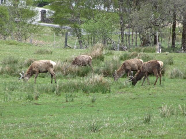 Cerfs à Inchnadamph